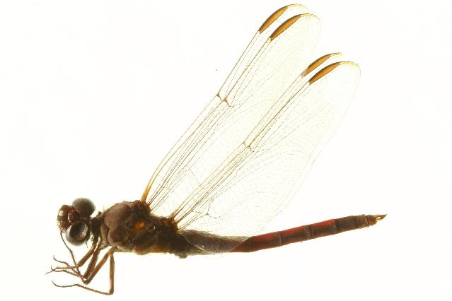 Image of Roseate Skimmer