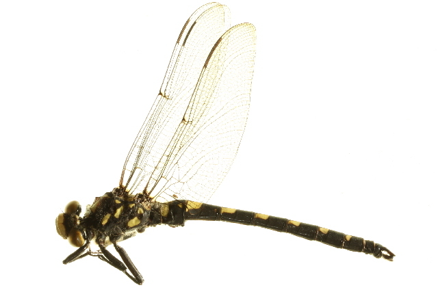 Image of Black Petaltail