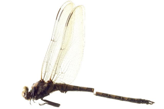 Image of <i>Tanypteryx thoreyi</i>