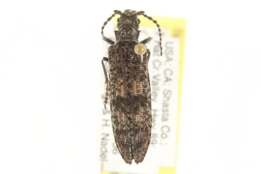 Image of <i>Priacma serrata</i> (Le Conte 1861)