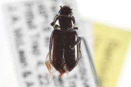 Image of <i>Trachypachus inermis</i>