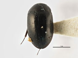 Image of <i><i>Crenitis</i></i> (Crenitis) <i>morata</i> (Horn 1890)