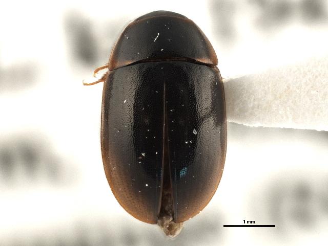 Image of <i>Cymbiodyta pacifica</i> Leech 1948