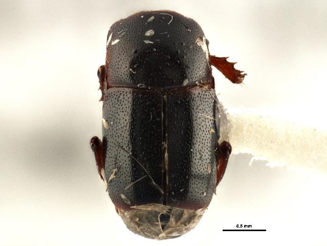 Image of <i><i>Teretrius</i></i> (Teretrius) <i>montanus</i> Horn 1880