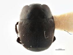 Image of <i><i>Hypocaccus</i></i> (Hypocaccus) <i>bigemmeus</i> (J. L. Le Conte 1851)