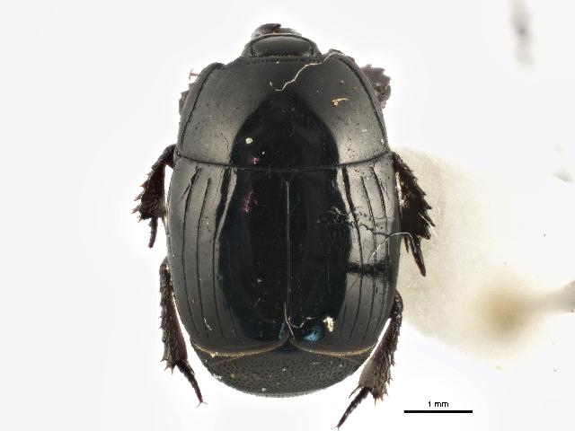 Image of <i>Margarinotus</i> (<i>Ptomister</i>) <i>umbrosus</i> (Casey 1893)