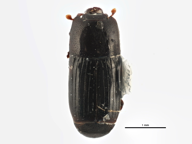 Image of <i>Platysoma</i> (<i>Cylister</i>) <i>coarctatum</i> J. E. Le Conte 1844