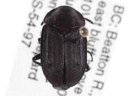 Image of <i>Aclypea bituberosa</i> (Le Conte & J. L. 1859)