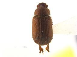 Image of <i>Glaresis medialis</i> Gordon 1969