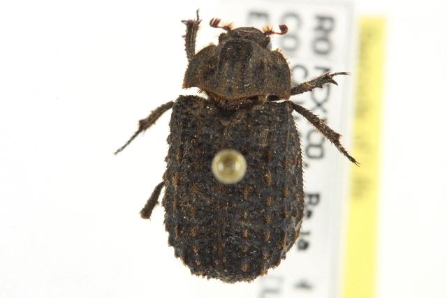 Image of <i>Trox gemmatus</i>
