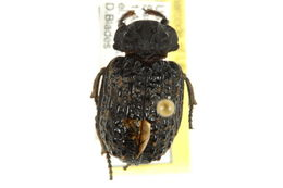 Image of Hide Beetles