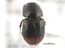 Image of <i>Otophorus haemorrhoidalis</i> (Linnaeus 1758)
