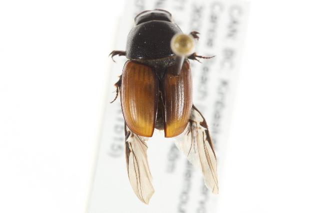 Image of <i>Colobopterus erraticus</i> (Linnaeus 1758)