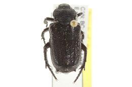 Image of <i>Cremastocheilus</i> (<i>Macropodina</i>) <i>crinitus</i> Le Conte 1874