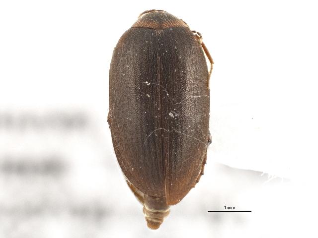 Image of <i>Nycteus infumatus</i> (Le Conte 1853)