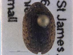 Image of <i>Cytilus alternatus</i> (Say 1825)