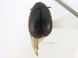 Image of <i>Morychus oblongus</i> (Le Conte 1857)