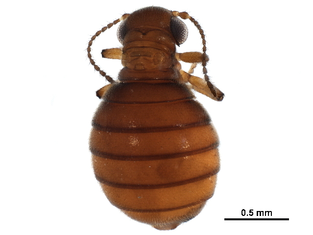 Image of <i>Caurinus dectes</i> Russell 1979
