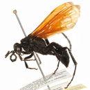 Image of <i>Calopompilus pyrrhomelas</i>