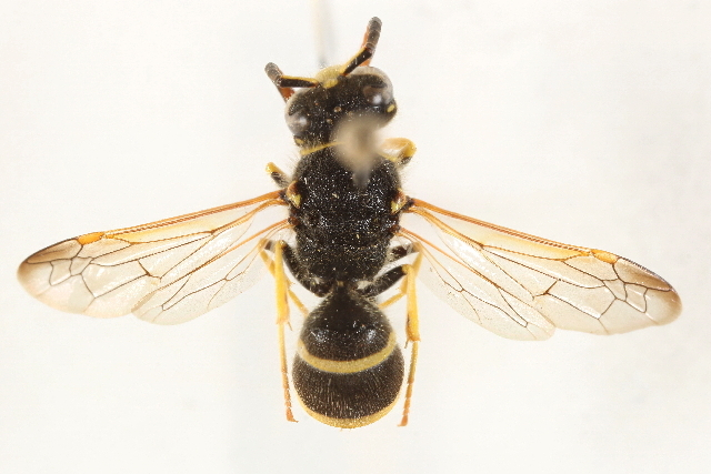 Image of <i>Ancistrocerus lineativentris</i> Cameron 1906