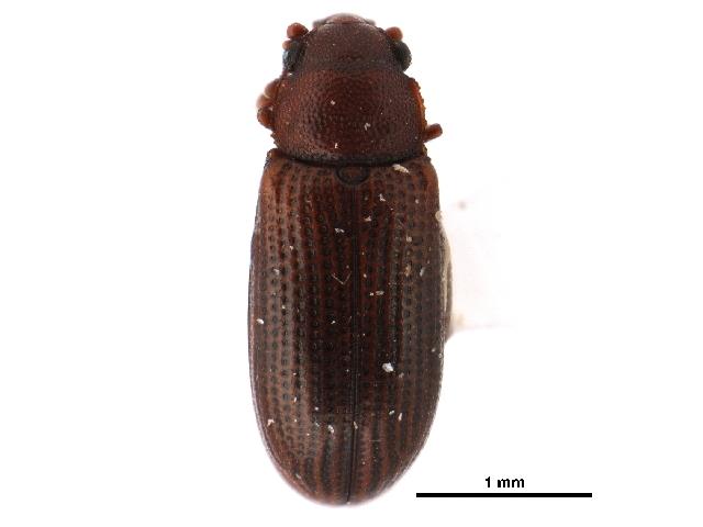 Image of <i>Odontosphindus clavicornis</i> Casey 1898