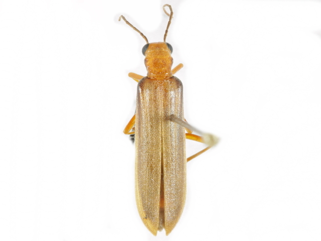 Image of <i>Xanthochroa testacea</i> Horn 1896