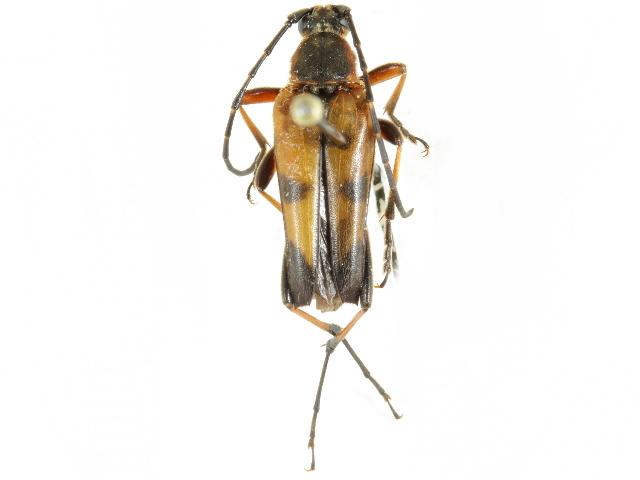Image of <i>Pedostrangalia obliterata vitiosa</i>