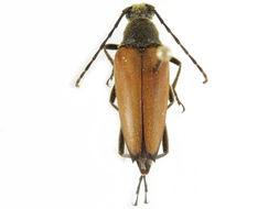 Image of <i>Pedostrangalia plebeja</i>