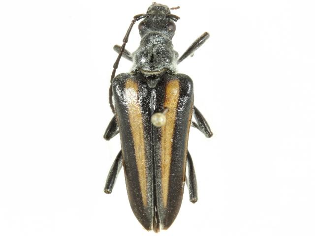 Image of <i>Stenocorus flavolineatus</i> (Le Conte 1854)