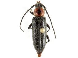 Image of <i>Stenosphenus notatus</i> (Olivier 1795)