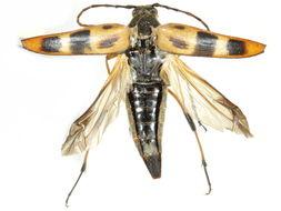 Image of <i>Pedostrangalia obliterata</i>