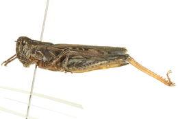 Image of <i>Psoloessa delicatula</i> (Scudder & S. H. 1876)