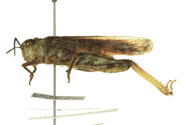Image of <i>Cratypedes lateritius</i> (Saussure 1884)