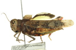 Image of Pronotal Range Grasshopper