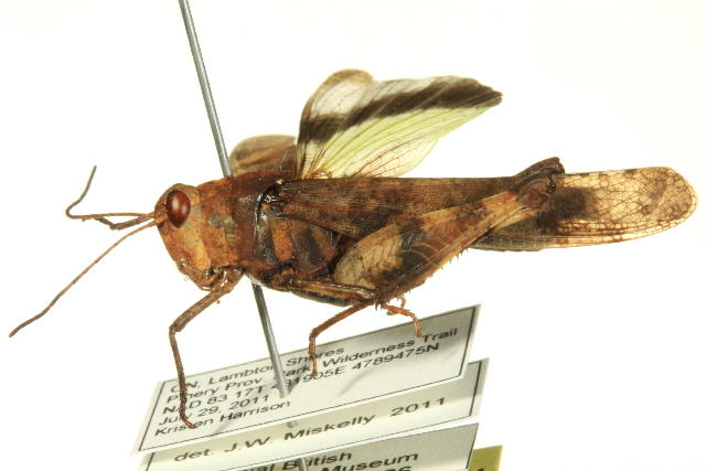 Image of Boll's Grasshopper