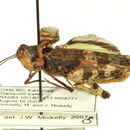 Image of <i>Spharagemon campestris</i> (Mc Neill 1901)