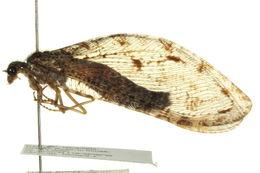 Image of <i>Polystoechotes punctata</i> (Fabricius 1793)