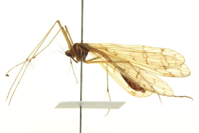 Image of <i>Bittacus strigosus</i> Hagen 1861