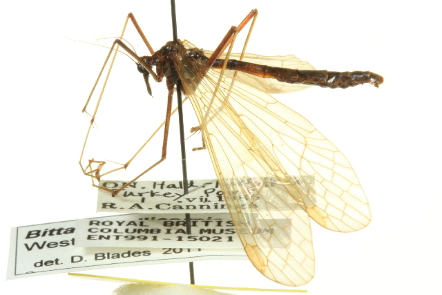 Image of <i>Bittacus pilicornis</i> Westwood 1846