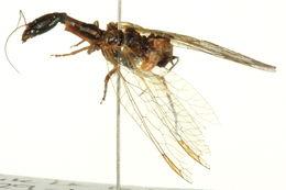 Image of raphidiid snakeflies