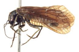 Image of alderflies
