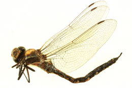 Image of California Darner