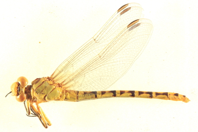 Image of <i>Stylurus intricatus</i> (Hagen ex Selys 1858)