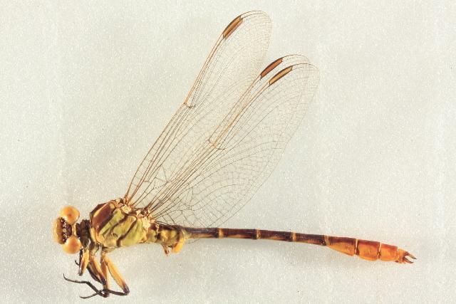 Image of <i>Stylurus ivae</i> Williamson 1932