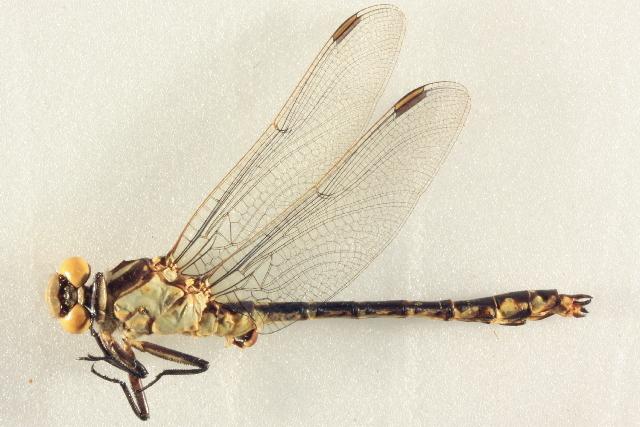 Image of <i>Stylurus olivaceus</i> (Selys 1873)