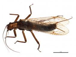 Image of Isogenoides