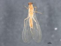 Image of Alloperla