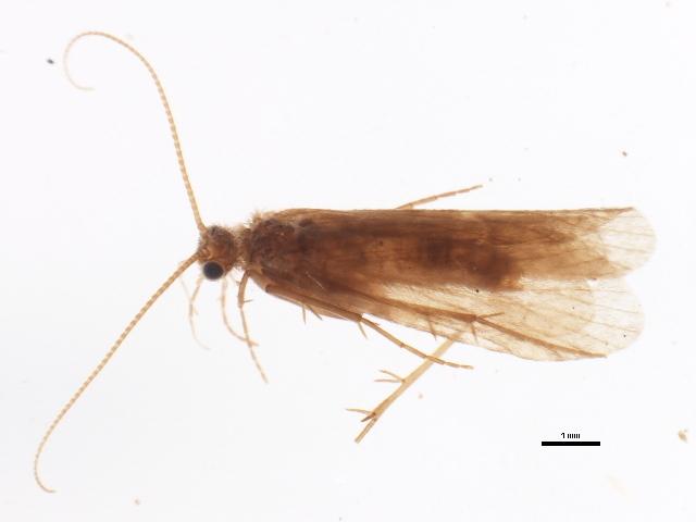 Image of <i>Plectrocnemia smithae</i>