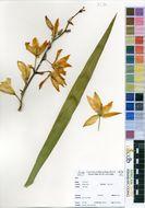 Image of Agavaceae