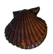 Image of scallop